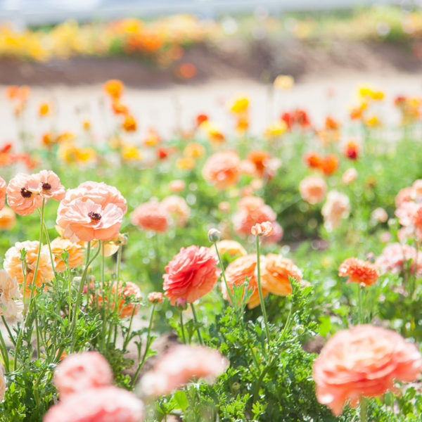 Aventure to The Flower Fields | Carlsbad, CA